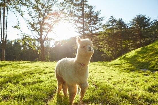 Khởi hành từ Seoul - Một ngày khám phá đảo Nami, The Garden of Morning Calm, Alpaca Pasture